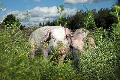 Glückliche Schweine - p4060377 von clack