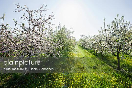 blühende Apfelbäume bei Offenburg, Ortenau, Schwarzwald, Baden-Württemberg, Deutschland - p1316m1160792 von Daniel Schoenen