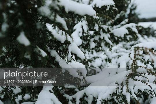Snowy branches - p1507m2233834 by Emma Grann