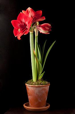 Blühende Amaryllis in einem Tontopf - p8420056 von Renée Del Missier