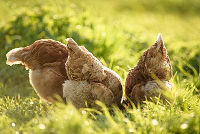 Freilandhühner - p1273m1578253 von melanka