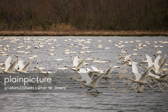 Tundra Swan Takeoff from waterfowl impoundment - p1480m2229481 by Brian W. Downs