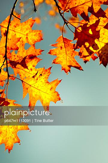 Herbstblätter - p647m1113091 von Tine Butter