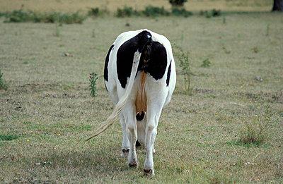 Kuh auf Wiese von hinten - p0190006 von Hartmut Gerbsch