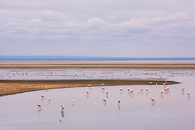 Flamingos on Lake Manyara in Lake Manyara National Park, Tanzania, East Africa, Africa - p871m1554154 by Ellen Rooney