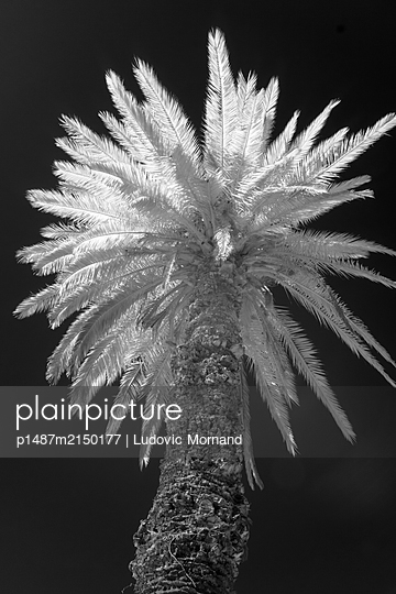 Infrared black and white image of a palm tree - p1487m2150177 by Ludovic Mornand