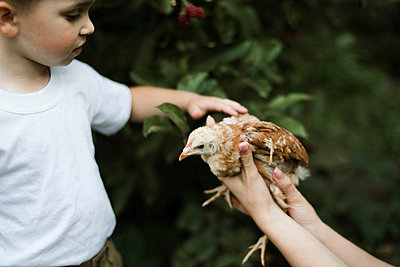 Little boy touches a chicken on a farm. - p1166m2094837 by Cavan Images