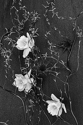 Narzissen, Disteln und Zweige - p977m900711 von Sandrine Pic