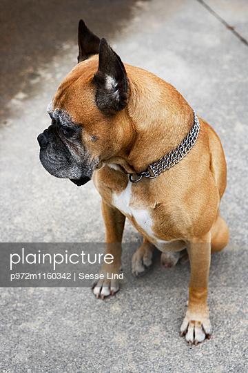 Boxer mit Metallhalsband - p972m1160342 von Sesse Lind