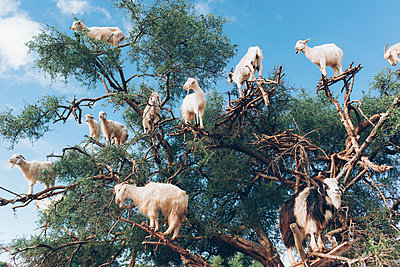 Goats in a tree - p1507m2043492 by Emma Grann
