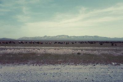 Herde Rinder in der Steppe - p1189m2176166 von Adnan Arnaout
