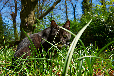 Cat sits in the meadow looking at camera - p763m1160168 by co-o-peration