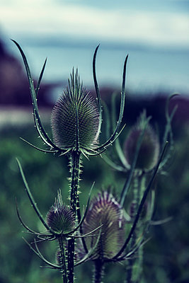 Thistle, close-up - p879m2168636 by nico