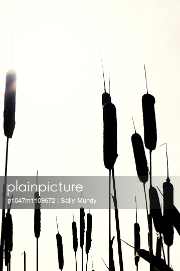 Bulrushes silhouetted against the sky - p1047m1109672 by Sally Mundy