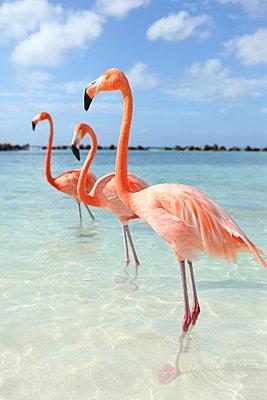 Flamingos at Aruba - p045m912529 by Jasmin Sander