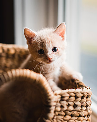 Cute beige kitten climbing out of a wicker basket. - p1166m2163283 by Cavan Images