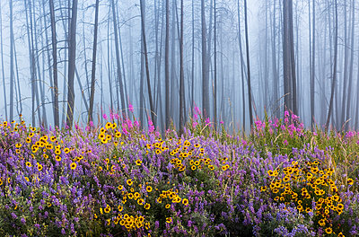 Kettle River Recreation Area bursting with wildflowers after a fire destroyed much of the forest in a fire; British Columbia, Canada - p442m1580388 by Debra Brash