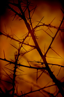 Long-Stalked Peashrub spikes (Caragana brevispina) - p1028m2248715 by Jean Marmeisse