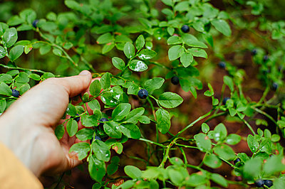 Cropped hand of woman picking wild berries from plant in forest - p1166m2025041 by Cavan Images