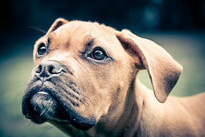 Boxer puppy close-up - p299m1138418 by Silke Heyer