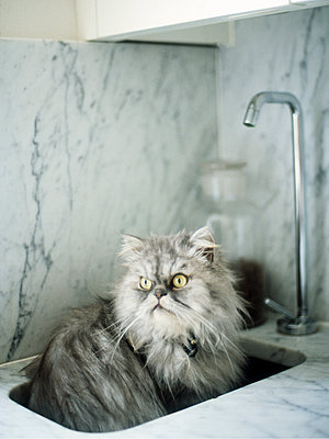 Fluffy cat in kitchen sink - p349m2167814 by Polly Wreford