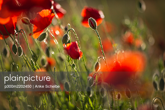 Red poppies growing in field - p300m2202450 by Anke Scheibe