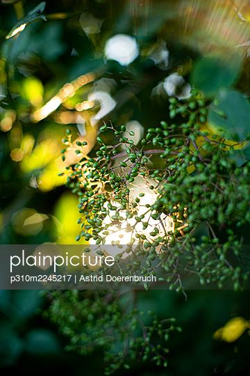 Green elderberry - p310m2245217 by Astrid Doerenbruch