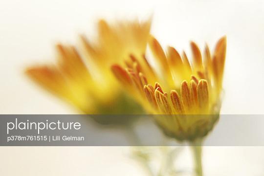 Yellow chrysanthemums - p378m761515 by Lili Gelman