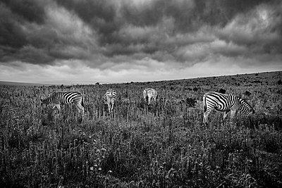 Gorah South Africa Elephant Camp  - p1171m1143952 by SimonPuschmann