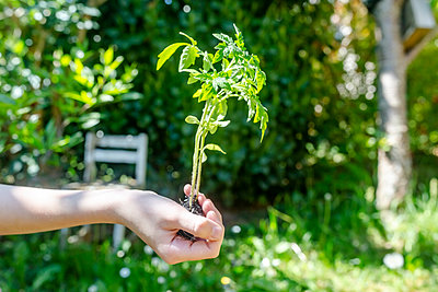 Girl's hand holding tomato plant - p300m2198977 by Sandra Roesch