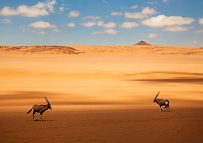 Two oryx standing in the African desert. - p1100m1570962 by Mint Images