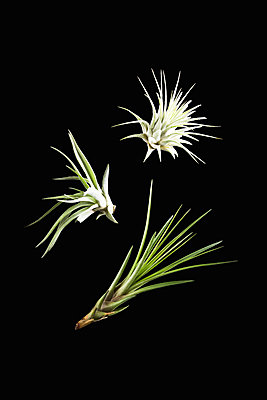 Air plant, Tillandsia - p1149m1516094 by Yvonne Röder