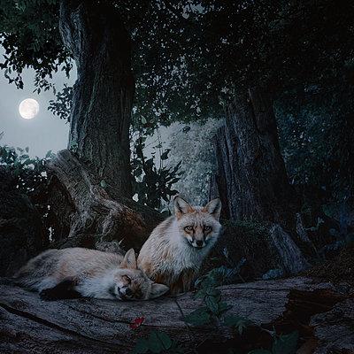Fox Night - p1633m2291003 by Bernd Webler