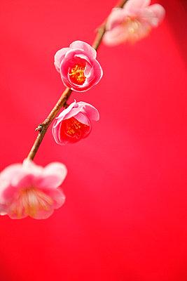 Plum blossom - p5143944f by Tetsu