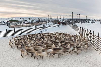 Reindeer work in Lapland, Finland.  - p1241m1481520 by Topi Ylä-Mononen