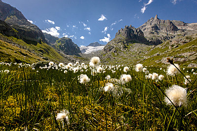 Cottongrass (Eriophorum scheuchzeri) in front of Galenstock in Central Switzerland - p343m958428f von Stefan Kuerzi