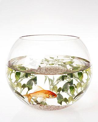 Fish bowl - p4380047 by Laura Petermann