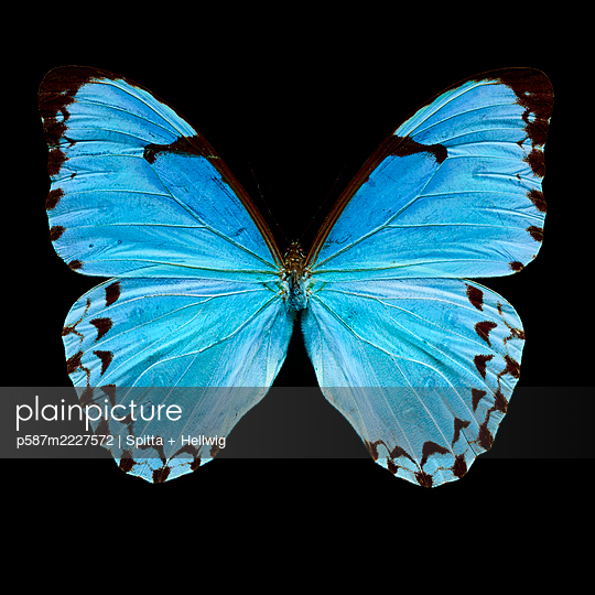 Blue butterfly - p587m2227572 by Spitta + Hellwig