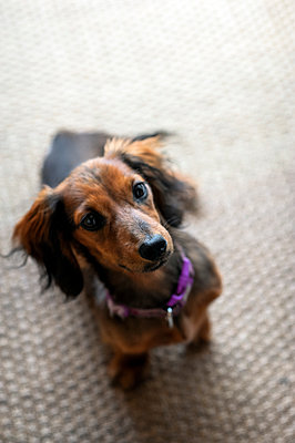 Red dachshund puppy sitting down - p1047m1588813 by Sally Mundy