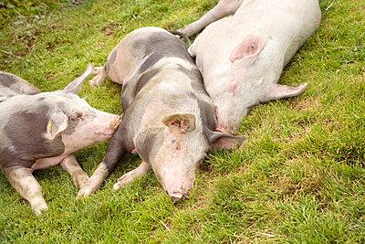 Schweine - p5790144 von Yabo