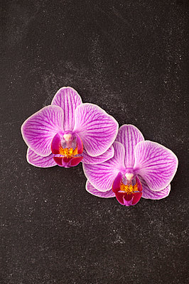 Two orchid flowers - p971m1048226 by Reilika Landen