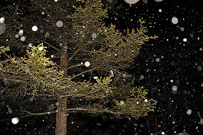Snowflakes and a tree - p1468m1558891 by Philippe Leroux