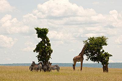 National park in Kenia - p5330281 by Böhm Monika
