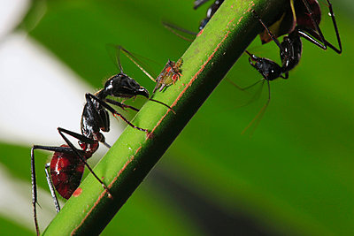 Ant pair with aphid - p8844621 by Cyril Ruoso