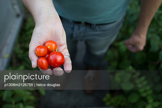 Tomatenernte - p1308m2126755 von felice douglas