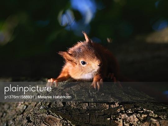 Baby-Eichhörnchen - p1376m1588931 von Melanie Haberkorn