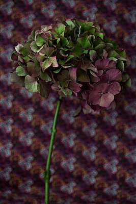 Mophead hydrangea on pattern - p1470m1539161 by julie davenport
