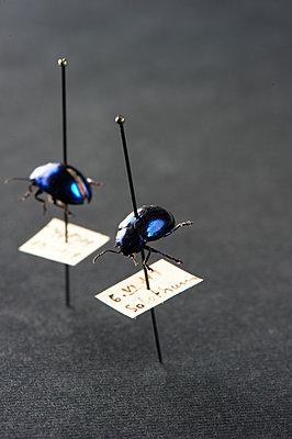 Insektenkunde, aufgespießte Käfer - p1629m2211345 von martinameier