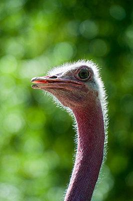 Ostrich close-up - p229m1575416 by Martin Langer