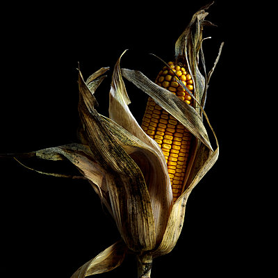 Corncob in Studio - p813m1000131 by B.Jaubert